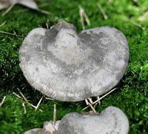 贵州特产—安龙马蹄菌